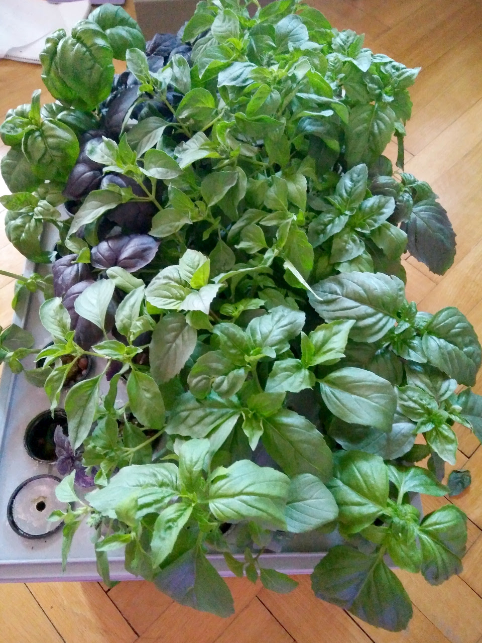 Copious amounts of basil produced during second round of growing